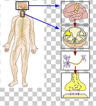 Somatic Nervous System Peripheral Nervous System Nerve Human Body PNG