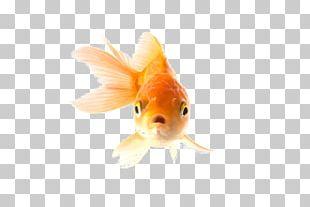 Common Goldfish Fantail Comet A Pet Goldfish Aquarium PNG