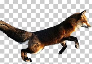 Red Fox Arctic Fox Blanford's Fox Desktop PNG