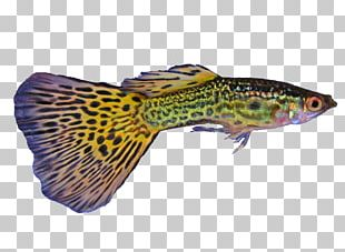 Guppy Poecilia Wingei Green Swordtail Poecilia Vetiprovidentiae Fish PNG