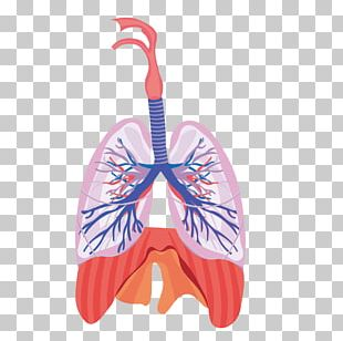 Lung Respiratory System Respiration Anatomy Physiology PNG