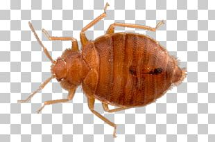 Top View Bed Bug PNG