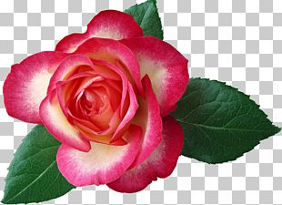 Rose Flower Red Leaf PNG