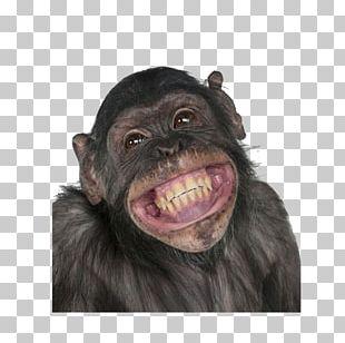 Chimpanzee Gorilla Primate Monkey Circus PNG