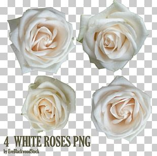 Garden Roses Android White Rose PNG