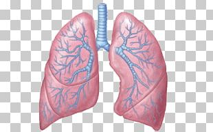 Lung Respiratory System Respiratory Tract Anatomy Respiration PNG