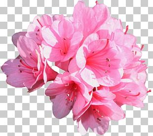 Carnation Pink Flowers Rose Common Daisy PNG