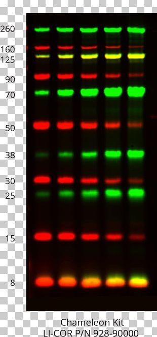 Western Blot LI-COR Biosciences Protein Gel PNG