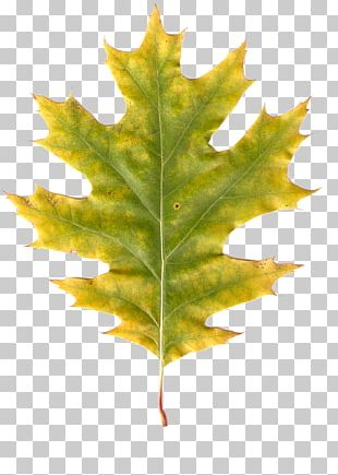 Maple Leaf Autumn Leaves Autumn Leaf Color PNG