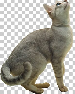 Burmilla Exotic Shorthair Burmese Cat European Shorthair Korat PNG
