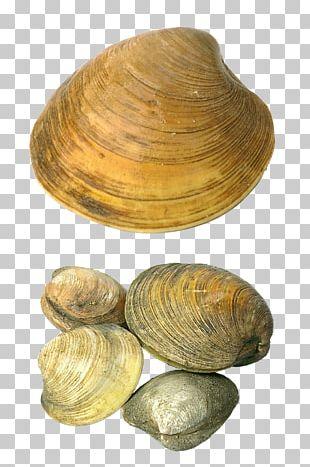 Cockle Seashell PNG