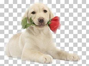 Labrador Retriever Puppy Golden Retriever Kitten French Bulldog PNG