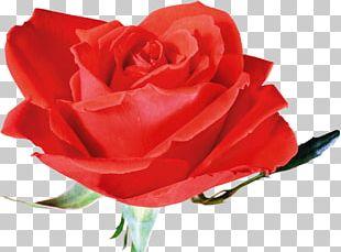 Flower Red Plant Garden Roses Beach Rose PNG