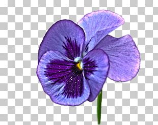 Pansy Violet Purple Flower PNG