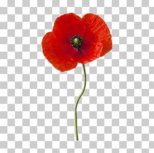 Common Poppy Flower Plant Stem California Poppy PNG