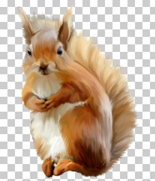 Eastern Gray Squirrel Photography PNG