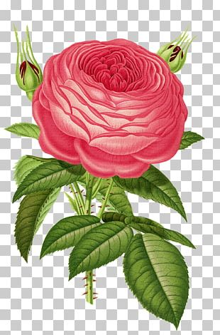 Old Roses And English Roses Heirloom Roses Flower Garden Roses PNG