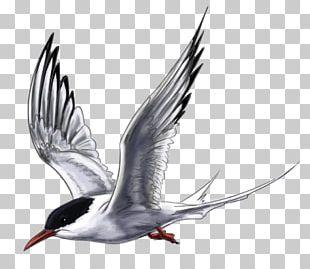 Arctic Tern Wader PNG