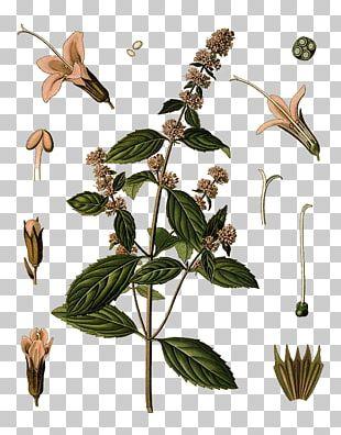 Peppermint Water Mint Mentha Spicata Mints Medicinal Plants PNG