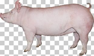 Domestic Pig Pig's Ear Cattle Indiana PNG