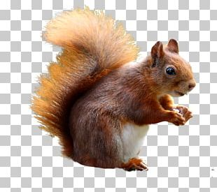 Squirrel Baffle Cat Portable Network Graphics Red Squirrel PNG
