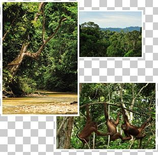 Rainforest Ecosystem Borneo Orangutan Survival Deutschland Old-growth Forest PNG