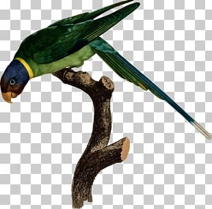 Bird Amazon Parrot Drawing Macaw PNG