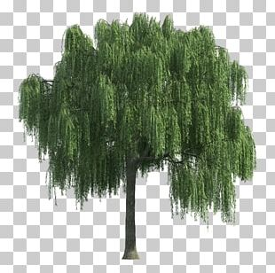 Willow Tree Shrub PNG