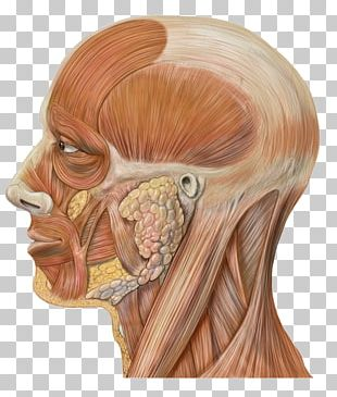 Head And Neck Anatomy Human Head Face PNG