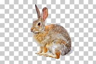 Domestic Rabbit European Hare European Rabbit Easter Bunny PNG