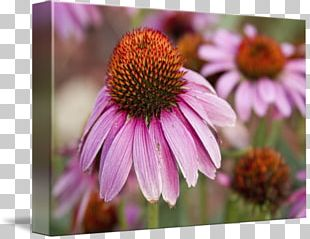 Daisy Family Coneflower Aster Purple Violet PNG