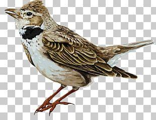 House Sparrow Bird Illustration PNG