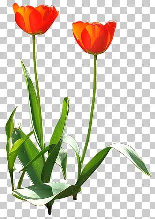 Tulip Flower Design Garden Adobe Photoshop PNG