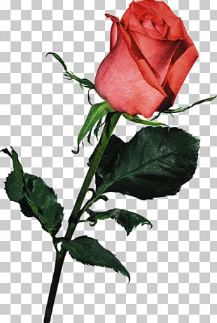 Beach Rose PNG