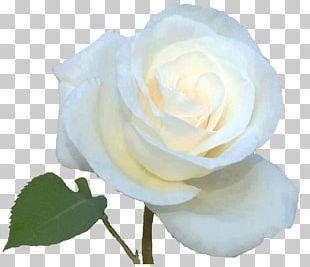 Garden Roses Cabbage Rose Floribunda Portable Network Graphics White Rose Of York PNG