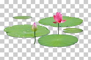 Nelumbo Nucifera Leaf Lotus Effect PNG