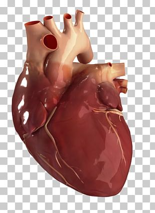 Human Heart Circulatory System Anatomy Human Body PNG