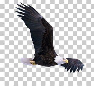Bird Bald Eagle PNG