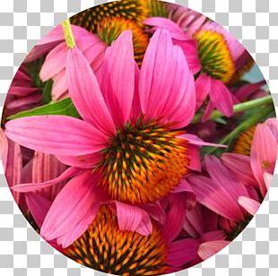 Herbalism Medicine Medicinal Plants Coneflower PNG