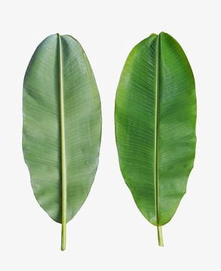 Banana Leaves Are On The Back PNG