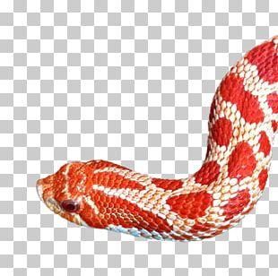 Western Hognose Snake Reptile Kingsnakes Elaphe Carinata PNG