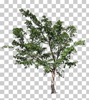 Plane Tree Family Oak Fig Trees Ficus Natalensis PNG