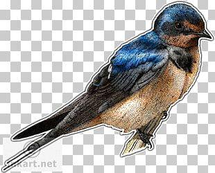 Barn Swallow Drawing PNG