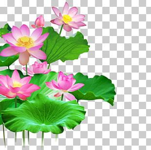 Wall Lotus PNG