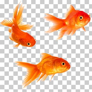 Goldfish Stock Photography PNG