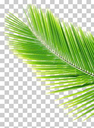 Asian Palmyra Palm Leaf Coconut Arecaceae PNG