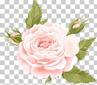 Garden Roses Centifolia Roses PNG