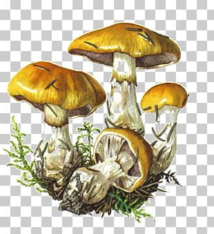 Botanical Illustration Edible Mushroom Botany Drawing PNG