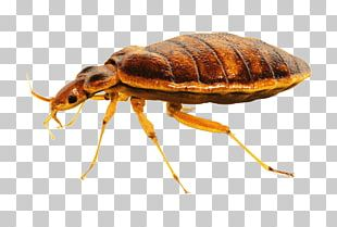 Bed Bug Close Up PNG