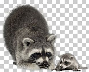 Raccoon Infant Mother Coyote Stock Photography PNG